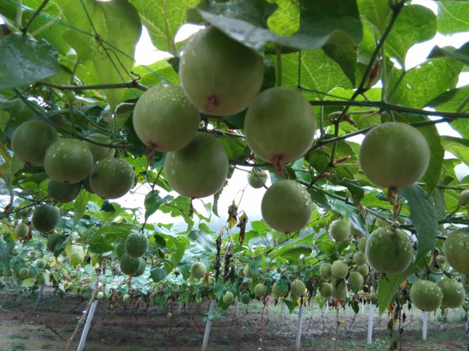 Monk fruits growing