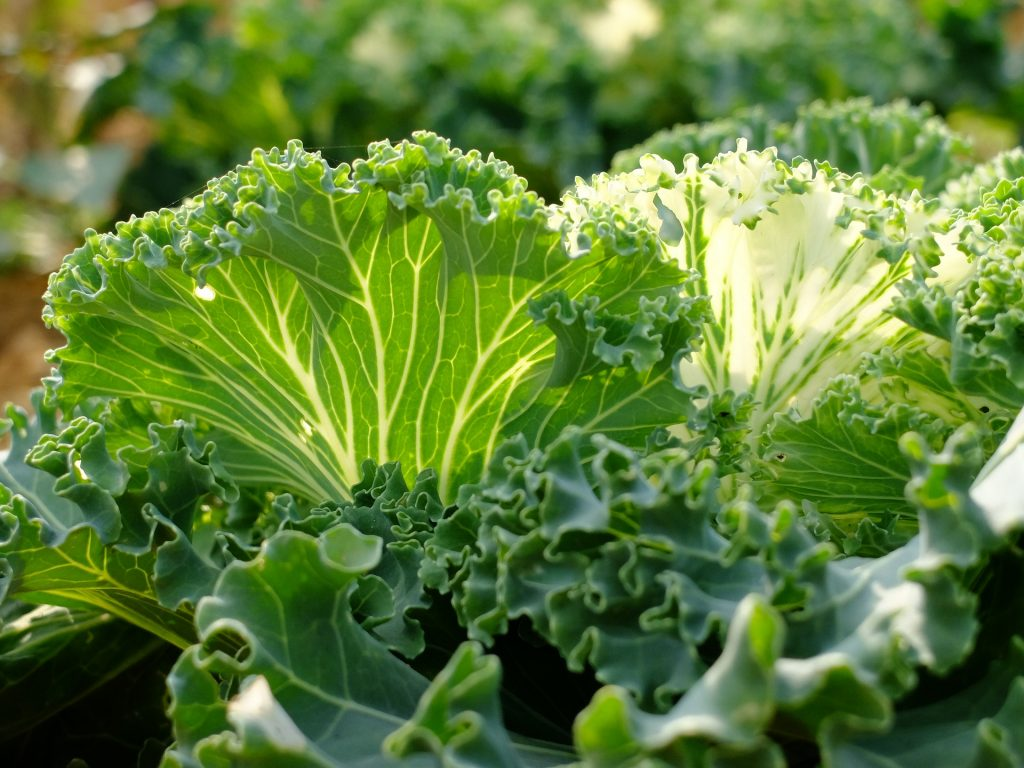 collard green plants