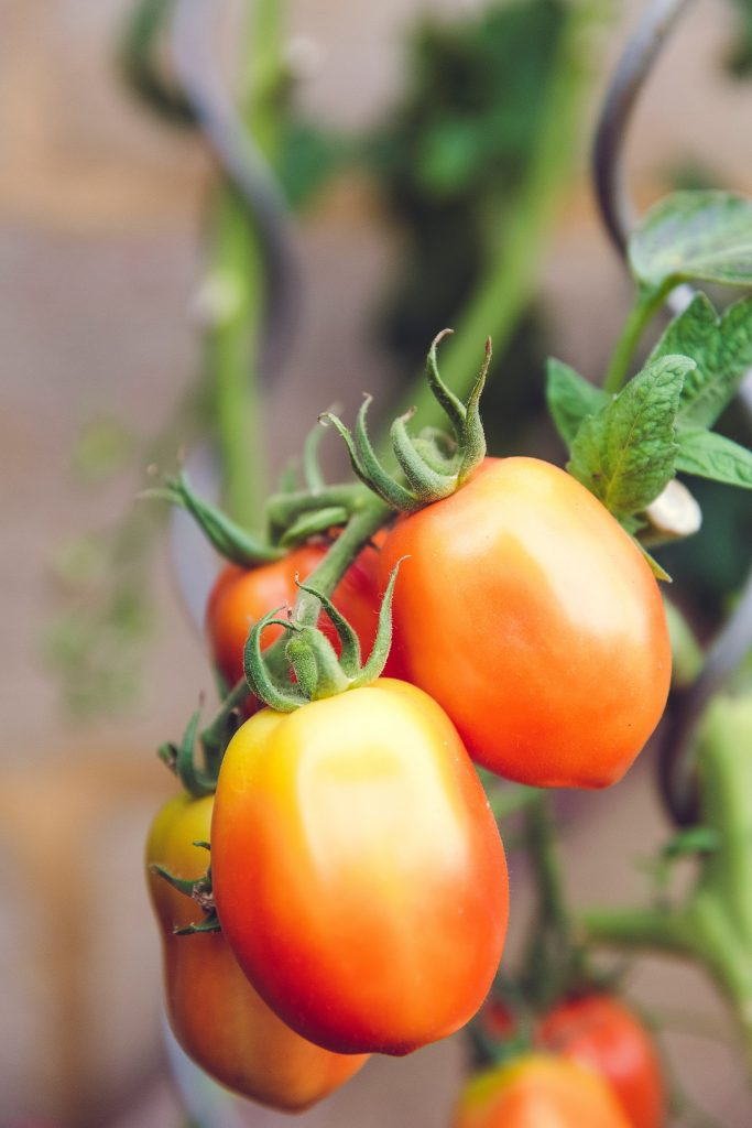 Italian tomatoes on the vine